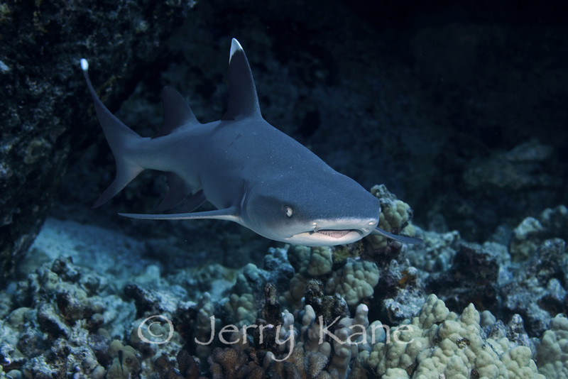 Whitetip Reef Shark (Triaenodon obesus) - Shark Ridge, Big Island, Hawaii