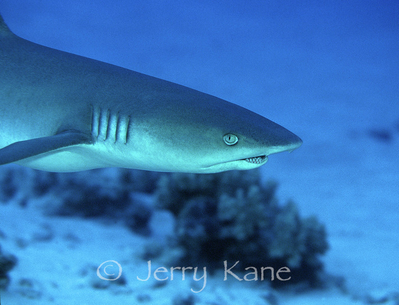 White Tip Reef Shark (Triaenodon obesus) - Honaunau, Big Island, Hawaii