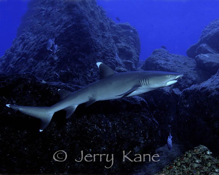White Tip Reef Shark (Triaenodon obesus) - Portlock, Oahu, Hawaii