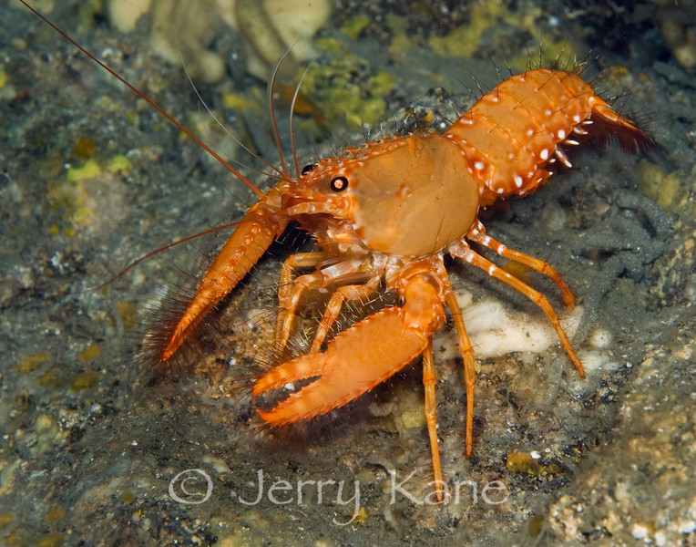 Red Reef Lobster (Enoplometopus occidentalis) - Three Room Cave, Big Island, Hawaii