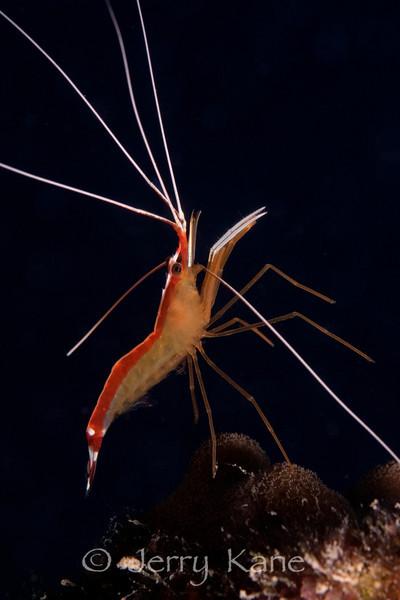 Scarlet Cleaner Shrimp (Lysmata amboinensis)  - Honaunau, Big Island, Hawaii