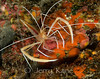 Flameback Coral Shrimp or Ghost Shrimp (Stenopus pyrsonotus) - Au Au Canyon, Big Island, Hawaii