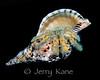 Hairy Yellow Hermit Crab (Aniculus retipes)  - Pebble Beach, Big Island, Hawaii