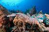 Ridgeback Slipper Lobster (Scyllarides haanii) - Honokohau, Big Island, Hawaii