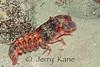 Sculptured Slipper Lobster (Parribacus antarcticus) - Puako, Big Island, Hawaii