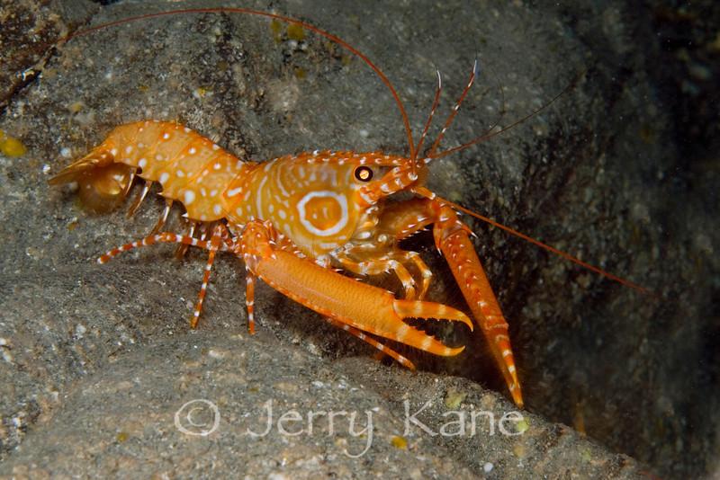Bullseye Reef Lobster (Hoplometopus holthuisi) - Three Room Cave, Big Island, Hawaii