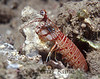 Shortnose Mantis Shrimp (Odontodactylus brevirostris) - Makua, Oahu, Hawaii