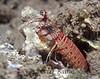Shortnose Mantis Shrimp (Odontodactylus brevirostris) - Makua, Oahu, Hawaii