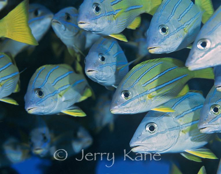 Bluestripe Snappers (Lutjanus kasmira) - Oahu, Hawaii
