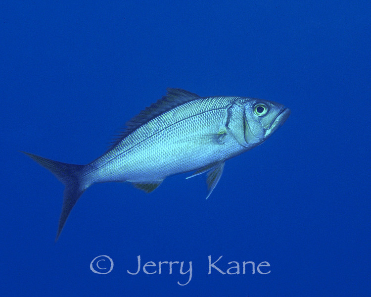 Forktail Snapper (Aphareus furca) - Big Island, Hawaii