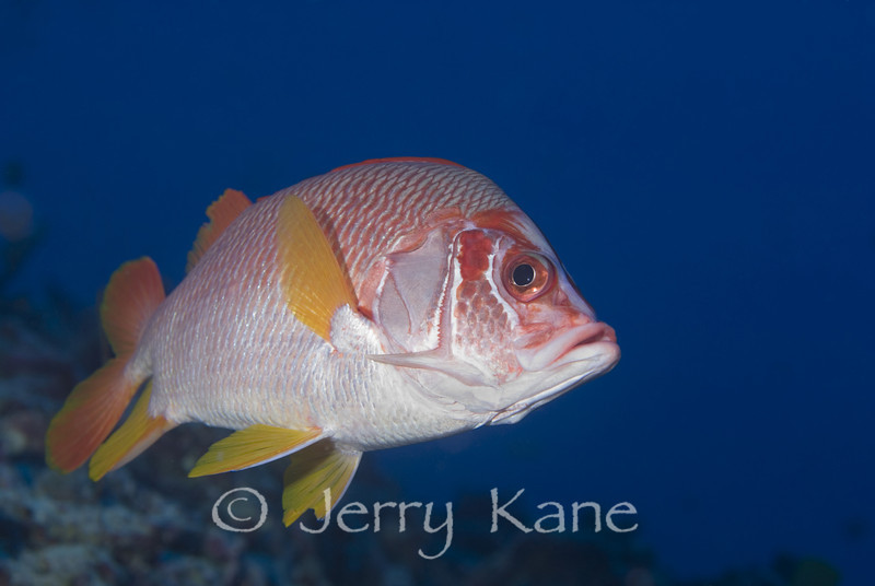 Saber Squirrelfish (Sargocentron spiniferum) - Kaiwi Point, Big Island, Hawaii
