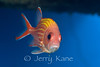 Yellowstripe Squirrelfish (Sargocentron ensifer) - Keahole Point, Big Island, Hawaii