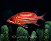Hawaiian Squirrelfish (Sargocentron xantherythrum) - Oahu, Hawaii
