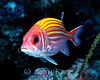Yellowstripe Squirrelfish (Sargocentron ensifer) - Big Island, Hawaii