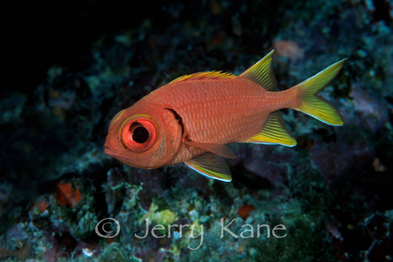Yellowfin Soldierfish (Myripristis chryseres) - Honaunau, Big Island, Hawaii
