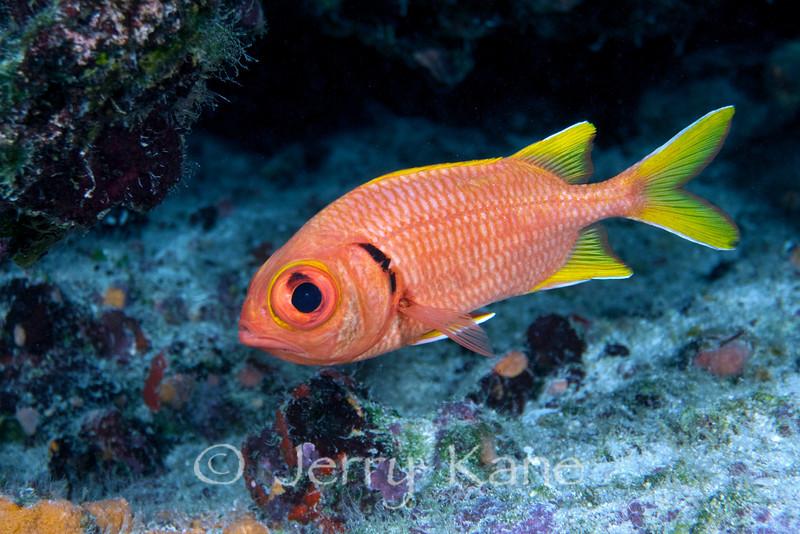 Yellowfin Soldierfish (Myripristis chryseres) - Honaunau, Big Island, Hawaii