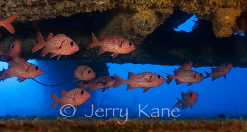 Bigscale Soldierfish (Myripristis berndti) schooling under submerged structure - Keahole Point, Big Island, Hawaii