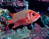 Tahitian Squirrelfish (Sargocentron tiere) - Kaiwi Point, Big Island, Hawaii
