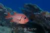 Bigscale Soldierfish (Myripristis berndti) - Honaunau, Big Island, Hawaii