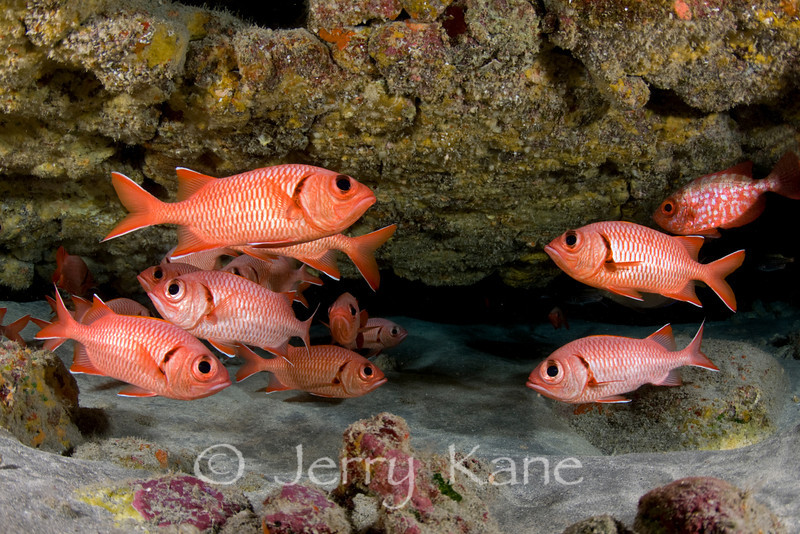 Bigscale Soldierfish (Myripristis berndti) schooling at cave entrance - Red Hill, Big Island, Hawaii