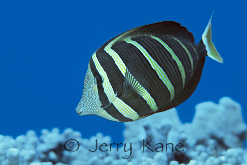 Sailfin Tang (Zebrasoma veliferum) - Honaunau, Big Island, Hawaii
