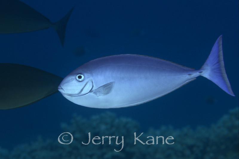 Sleek Unicornfish (Naso hexacanthus) - Oahu, Hawaii