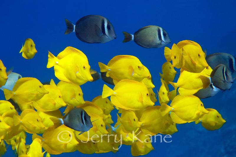 Yellow Tangs (Zebrasoma flavescens) & Whitebar Surgeonfish (Acanthurus leucopareius) - Honokohau, Big Island, Hawaii