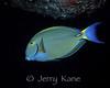 Eyestripe Surgeonfish (Acanthurus dussumieri) - Pine Trees, Big Island, Hawaii