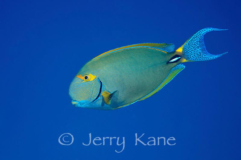 Eyestripe Surgeonfish (Acanthurus dussumieri) - Honokohau, Big Island, Hawaii