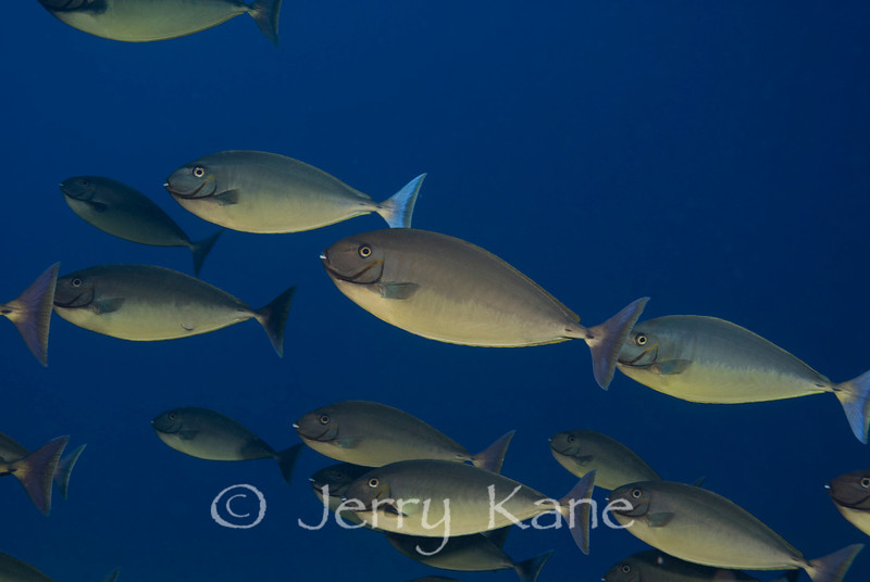 Sleek Unicornfish (Naso hexacanthus) - Kaiwi Point, Big Island, Hawaii