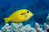 Orangeband Surgeonfish, juv. (Acanthurus olivaceus) - Hookena, Big Island, Hawaii