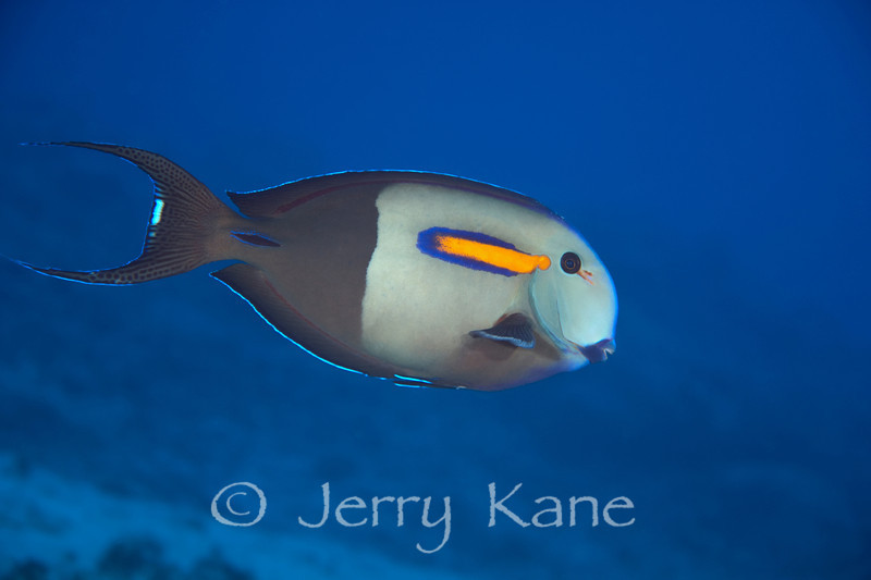 Orangeband Surgeonfish (Acanthurus olivaceus) - Honokohau, Big Island, Hawaii