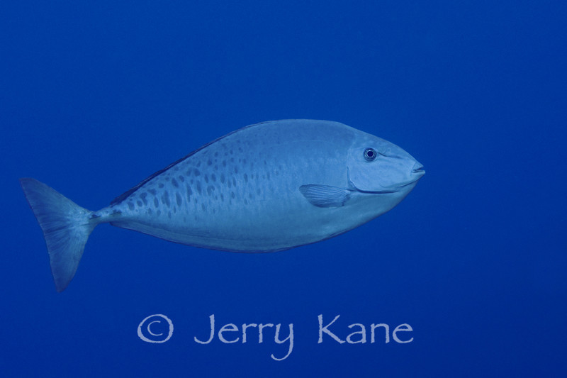 Gray Unicornfish (Naso caesius) - Paradise Pinnacles, Big Island, Hawaii