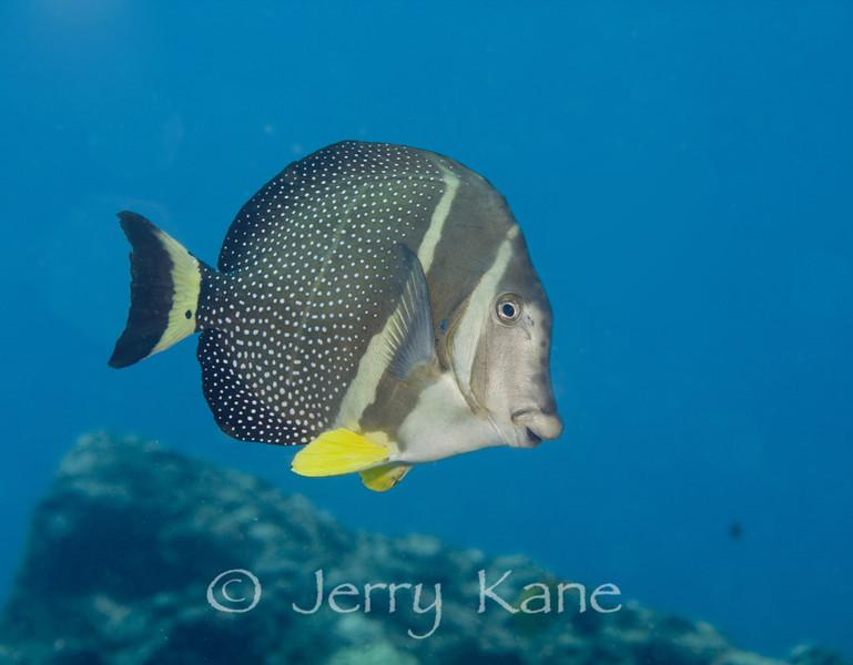 Whitespotted Surgeonfish (Acanthurus guttatus) - Kaiwi Point, Big Island, Hawaii
