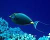Orangespine Unicornfish (Naso lituratus) - Honaunau, Big Island, Hawaii