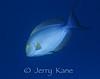 Yellowfin Surgeonfish (Acanthurus xanthopterus) - Honaunau, Big Island, Hawaii