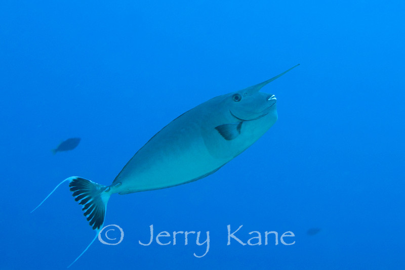 Whitemargin Unicornfish (Naso annulatus) - Honokohau, Big Island, Hawaii