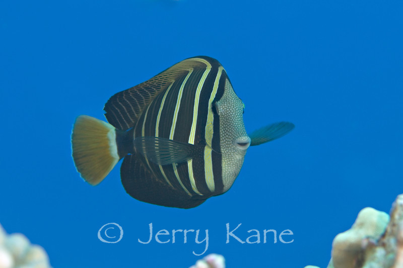 Sailfin Tang (Zebrasoma veliferum) - Makako Bay, Big Island, Hawaii