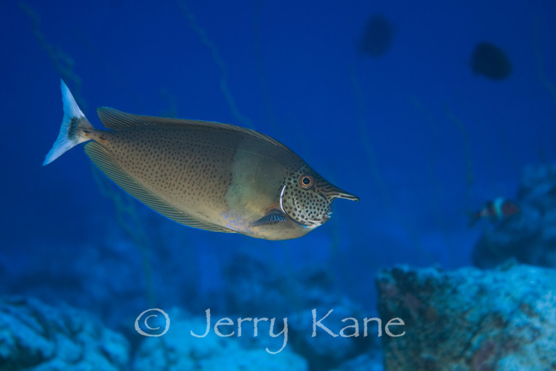 Paletail Unicornfish (Naso breviostris) - Pine Trees, Big Island, Hawaii