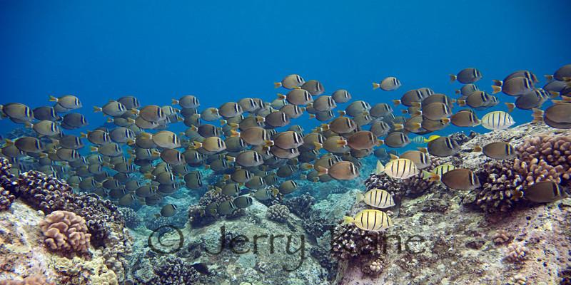 Whitebar Surgeonfish (Acanthurus leucopareius) - Milolii, Big Island, Hawaii