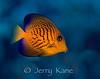 Black Surgeonfish, juv (Ctenochaetus hawaiiensis) - Hookena, Big Island, Hawaii