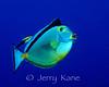 Orangespine Unicornfish (Naso lituratus) - Eel Cove, Big Island, Hawaii