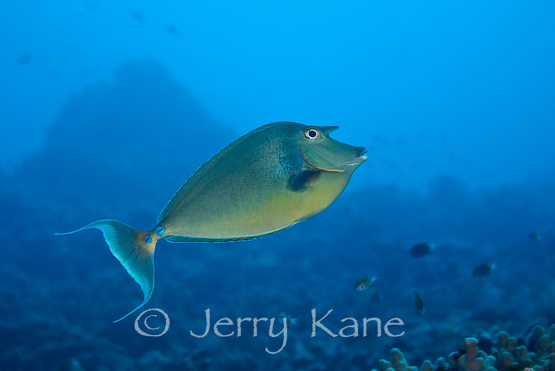 Bluespine Unicornfish (Naso unicornis) - Honokohau, Big Island, Hawaii