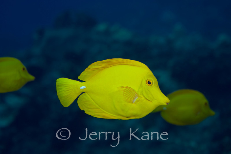 Yellow Tang (Zebrasoma flavescens) - Kaiwi Point, Big Island, Hawaii