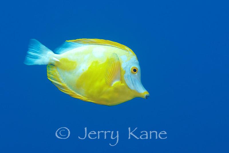 Yellow Tang, part albino (Zebrasoma flavescens) - Kaohe Bay, Big Island, Hawaii