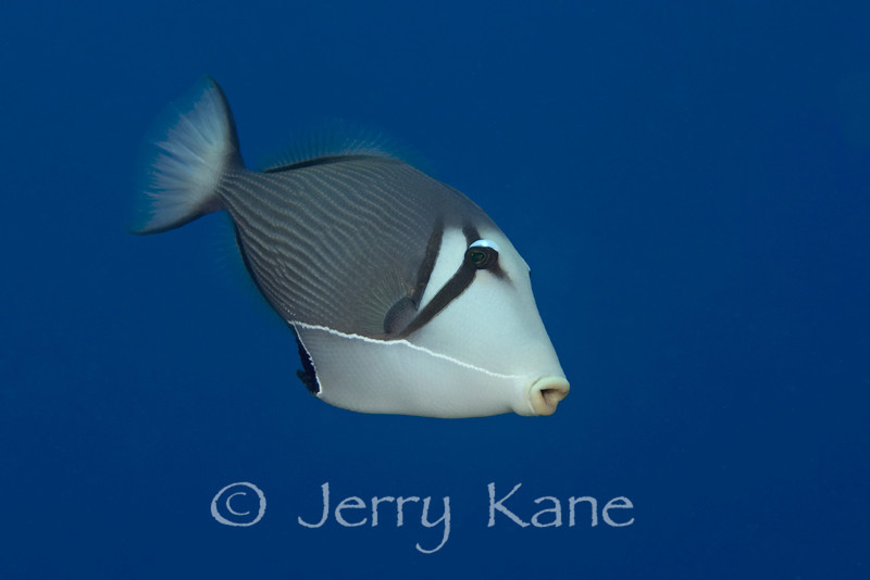 Lei Triggerfish (Sufflamen bursa) - Honokohau, Big Island, Hawaii