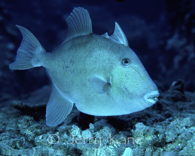 Finescale Triggerfish (Balistes polylepis) - Pebble Beach, Big Island, Hawaii