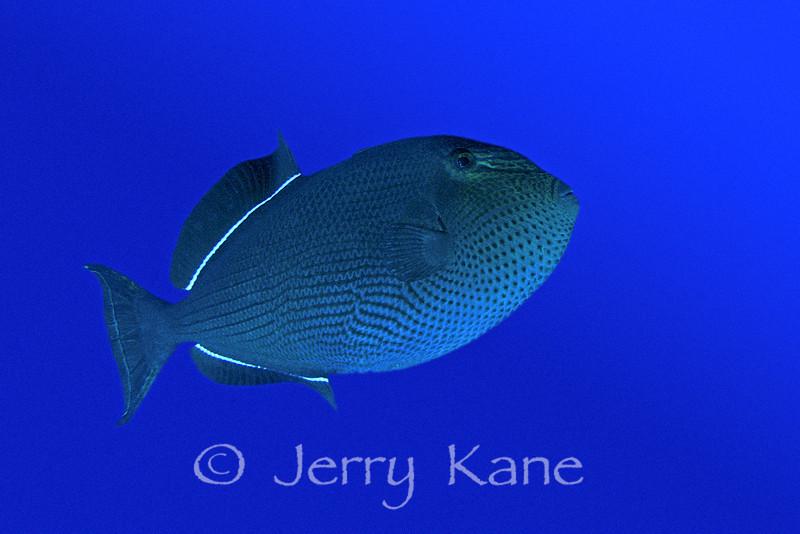 Black Durgon (Melichthys niger) - Big Island, Hawaii