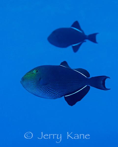 Black Durgon (Melichthys niger) - Red Hill, Big Island, Hawaii