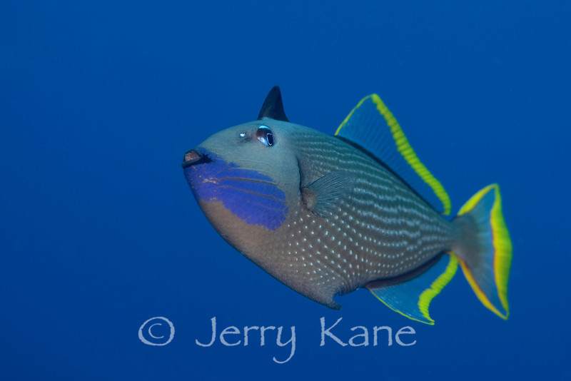 Gilded Triggerfish (Xanthichthys auromarginatus) - Honokohau, Big Island, Hawaii